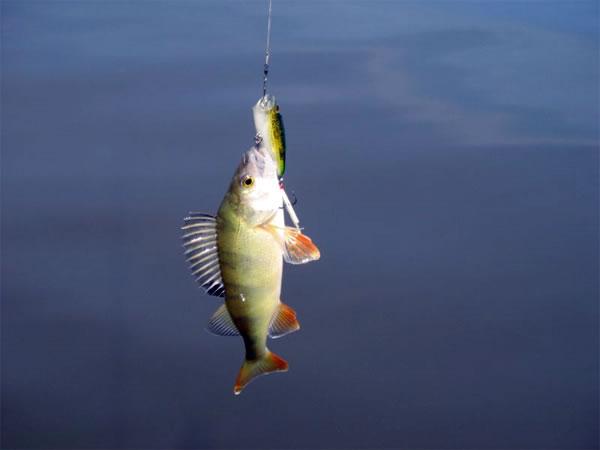какая рыба ловится в июне на дону